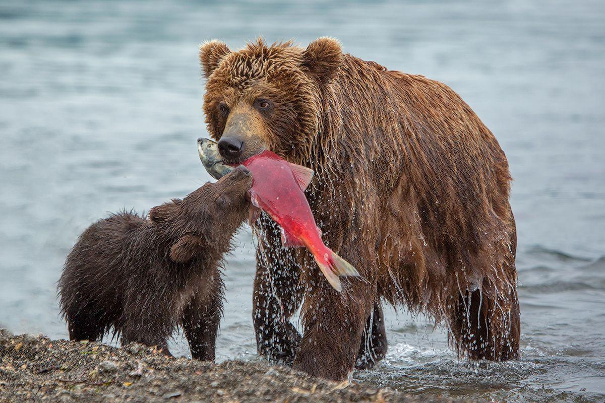 Картинки медведь ест медведь