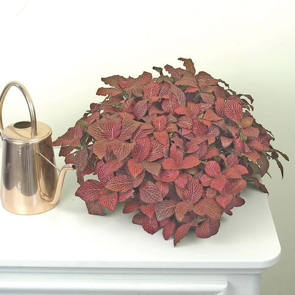 Nerve Plant 'Super Red' (Fittonia verschaffeltii) - Web Exclusives - Exclusives