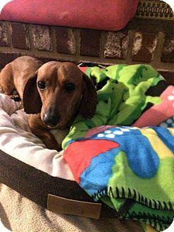 Verona Nj Dachshund Meet Bogey A Dog For Adoption Http Www