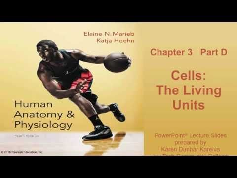 Anatomy & Physiology Chapter 3 Part D Lecture - YouTube | BIO.1141 ...