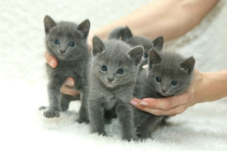 We Have Russian Blue Kittens For Sale They Are 8 Weeks Old And