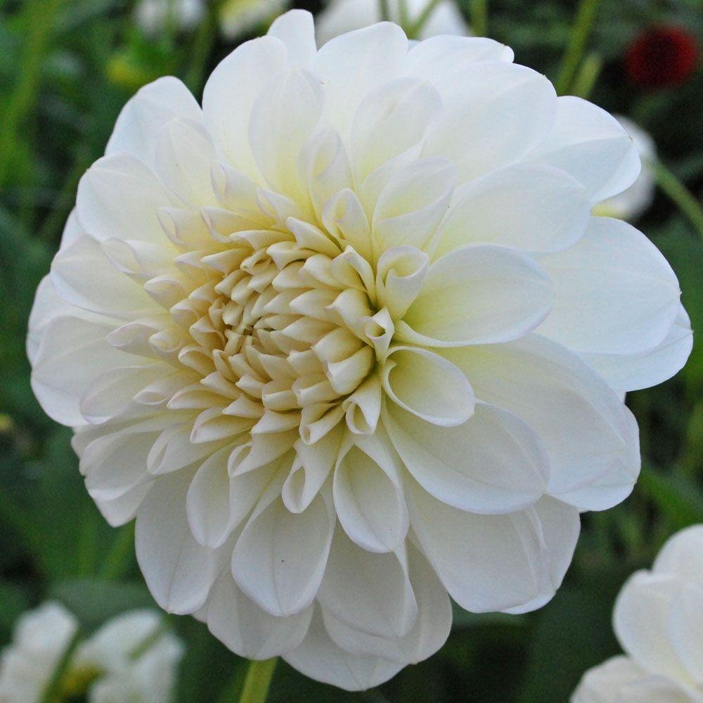 10 Stunning Dahlia Wedding Bouquets: White Dahlia - Got 10 Stems