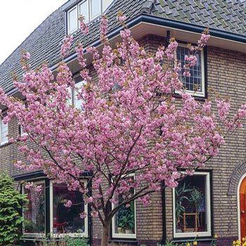 Kwanzan Cherry Tree Michigan Bulb Company Flowering Cherry Tree Cherry Trees Garden Japanese Cherry Tree