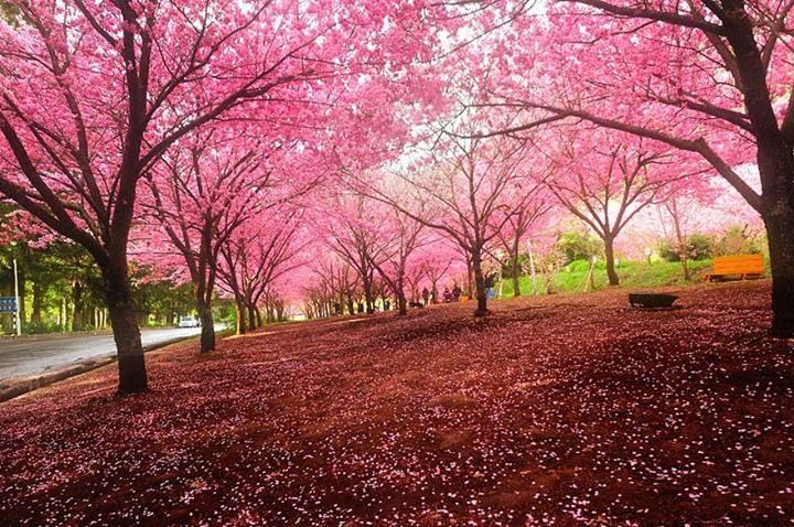 Pin By Hossam Zaki On P Nk Cherry Blossom Festival Beautiful Landscapes Blossom Trees