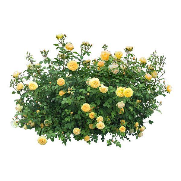 Lady Annadu 26 Png Na Yandeks Fotkah Found On Polyvore Plant Images Plants Trees To Plant