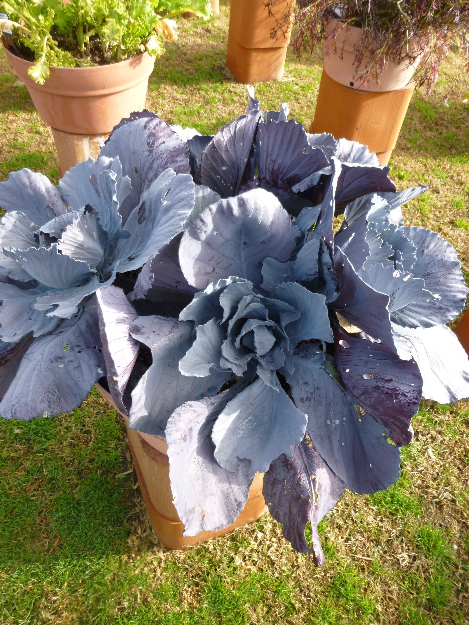 Cabbage 'Red Integro' Arboretum Approved Winner 2015