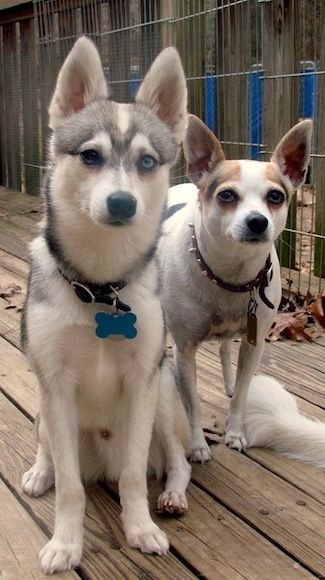 Toy Alaskan Klee Kai With His Chihuahua Friend If I Was To Get