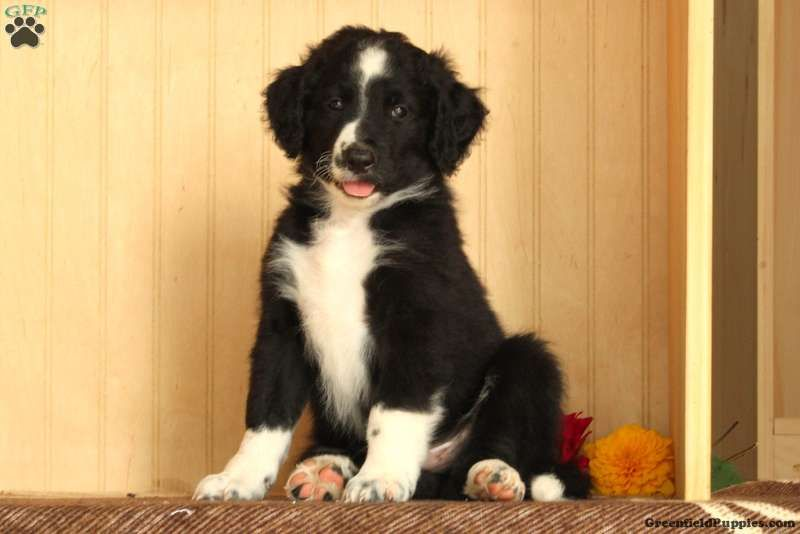 Bordoodle Puppies For Sale Borderdoodle Puppies Greenfield Puppies Bordoodle Greenfield Puppies Hybrid Dogs