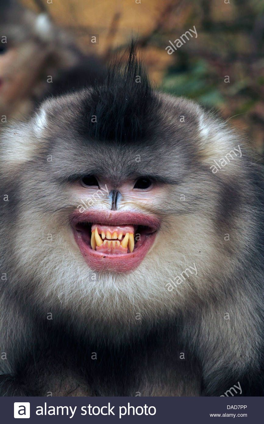 Image result for snub nose monkey creepy animals