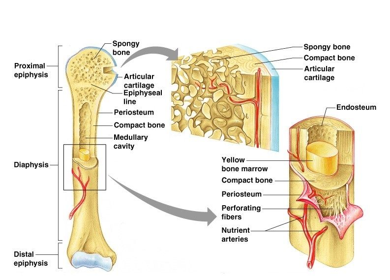Gross Anatomy Of Typical Long Bone Diagram - Auto Electrical Wiring ...