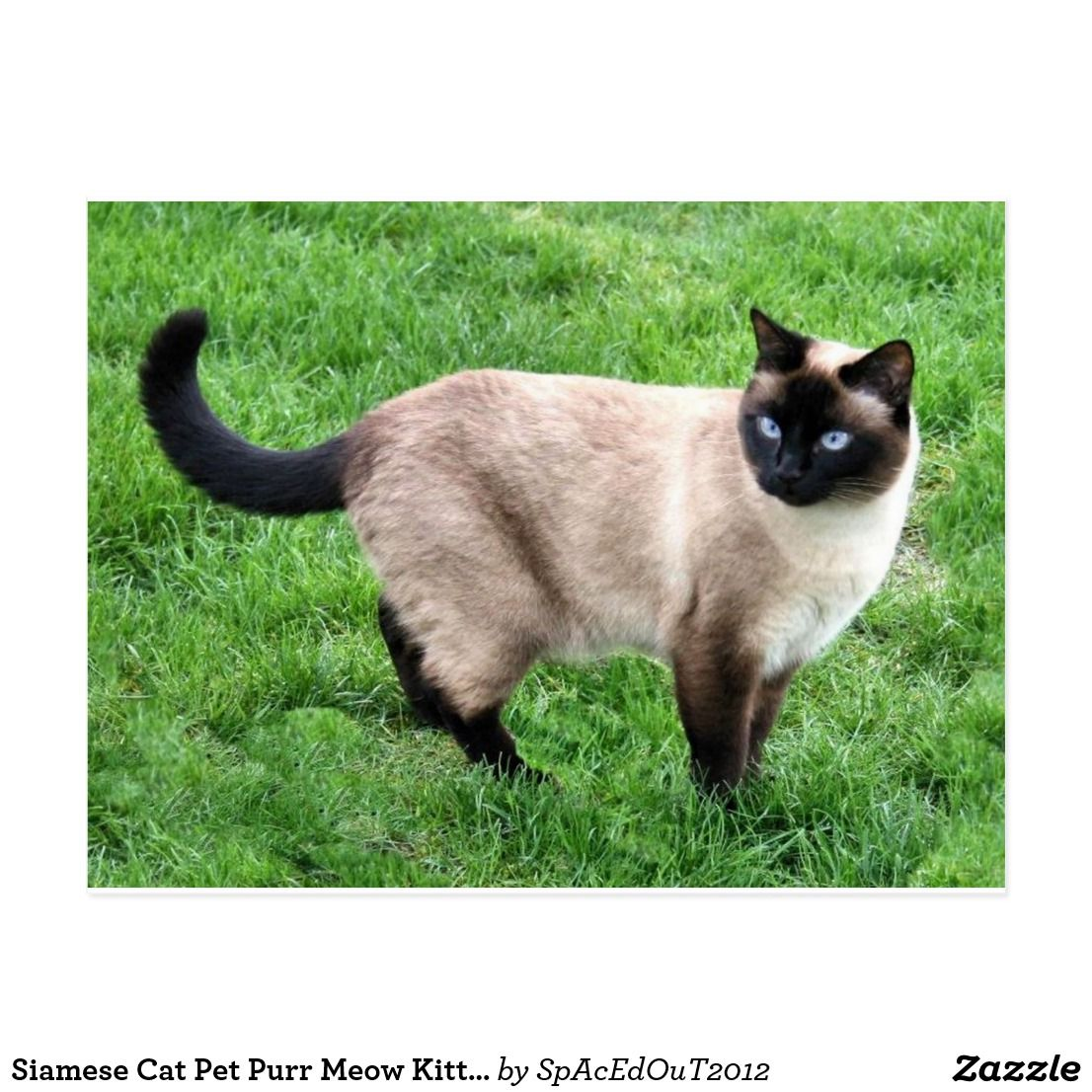 Siamese Cat Pet Purr Meow Kitty Destiny Art Postcard Zazzle Com Siamese Cats Blue Point Siamese Cats Pets Cats