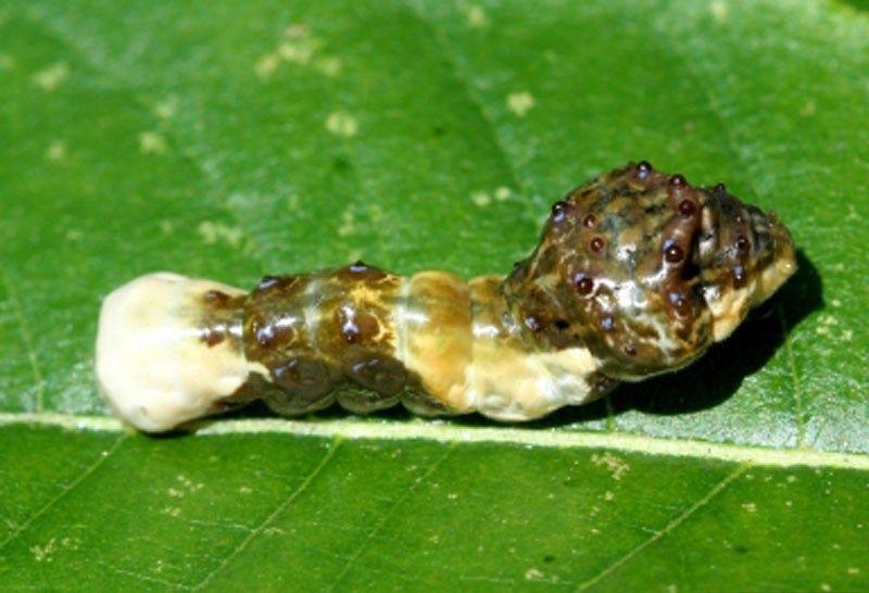 Moth Caterpillar Identification Florida Moth Caterpillar