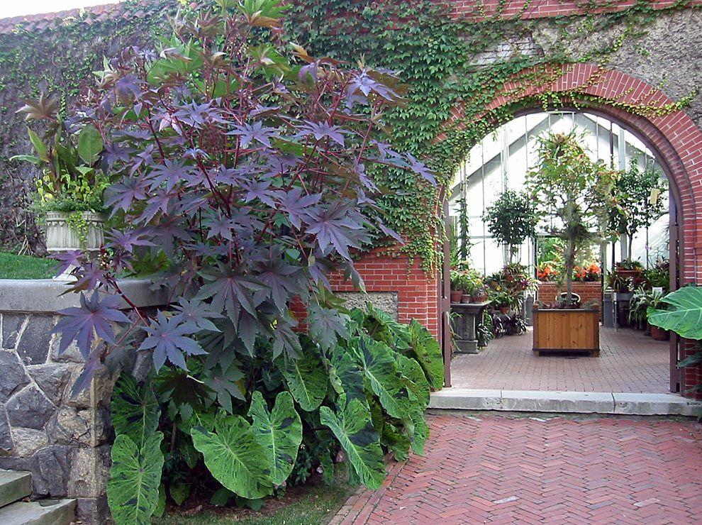 Ornamental grass and elephant ear plants of purple for Ornamental vegetable plants