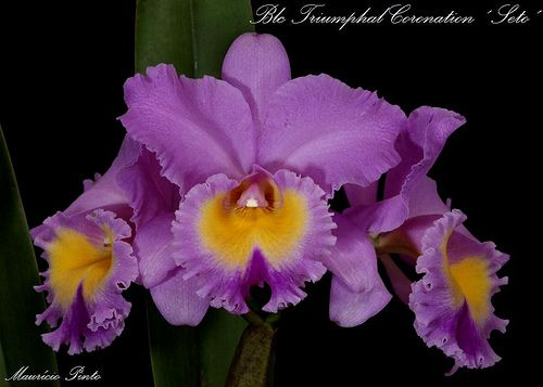 Blc: BrassoLaelioCattleya Triumphal Coronation ´Seto´ - Flickr - Photo Sharing!