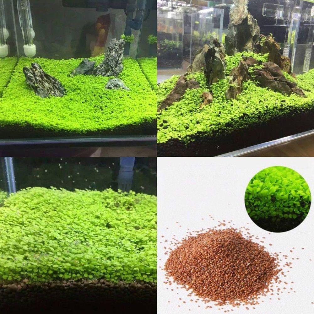 Aquarium Grass Seed Aquatic Leaf Carpet Water Plant Fish Tank Decor CA