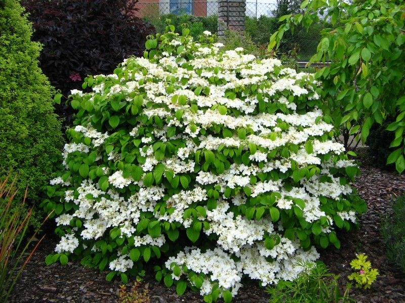 evergreen viburnum shrubs