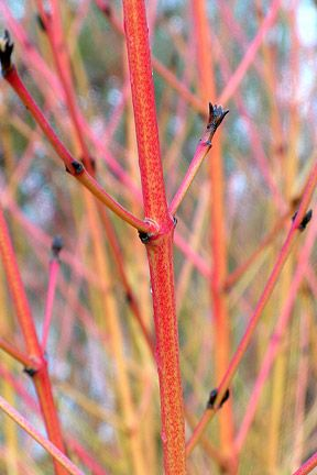 Learn How To Prune Red Twig Dogwood For The Best Stem Color Great Article Red Twig Dogwood Dogwood Shrub Twig Dogwood
