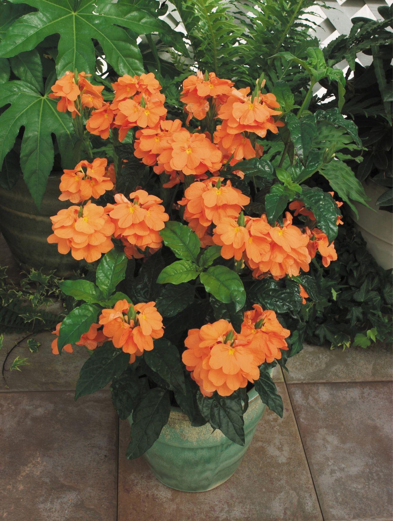 Orange Marmalade Firecracker Flower Care My Garden Pinterest