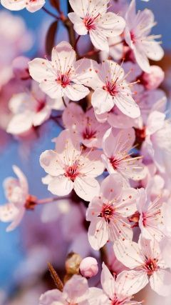 Space Mobile Phone Wallpapers Hd Phone Wallpapers Img 3 Cherry Blossom Wallpaper Spring Wallpaper Flower Wallpaper