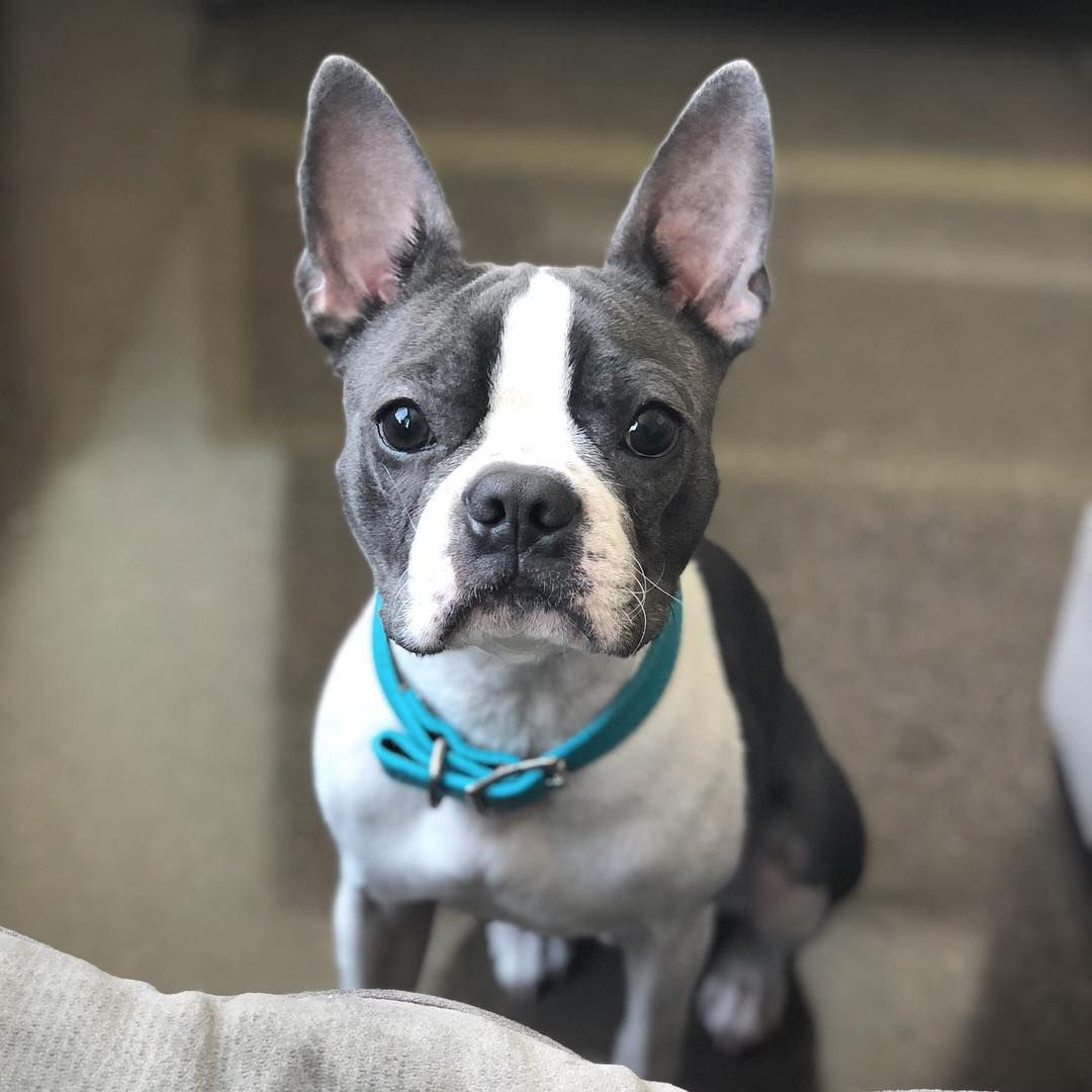This Photo Gallery List Includes Photos Of The Cutest Blue Boston Terriers Including Cute Puppies As Boston Terrier Puppy Boston Terrier Boston Terrier Funny