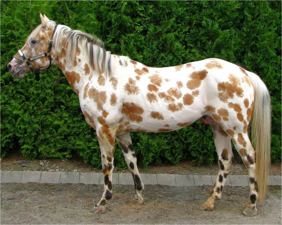 "Bay (A) based leopard Appaloosa with ""Moldy"" spots. Moldy ..."