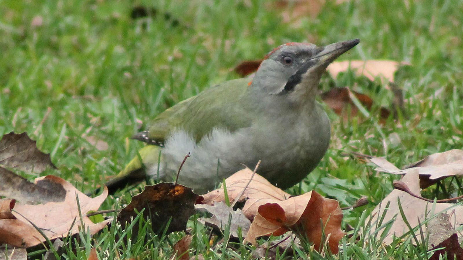 Zorzales y correlimos: once aves españolas en riesgo de desaparecer ...