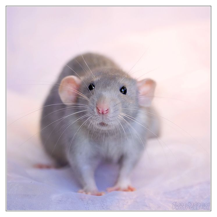 Fancy Rats - If they are held and loved, they will be ...