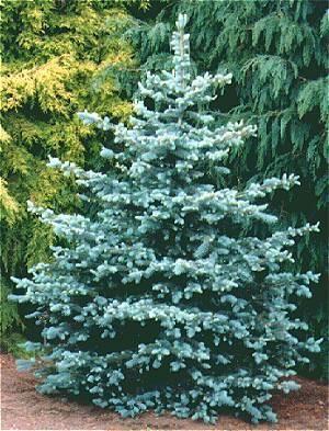 Picea Pungens Glauca Baby Blue Eyes Heller Nursery Picea Pungens Colorado Blue Spruce Picea Pungens Glauca