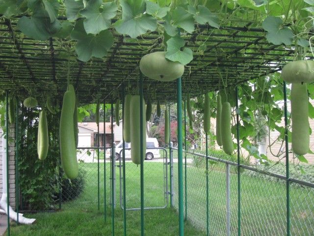 Bottle Gourd Squash Growing In Backyard Vegetable Garden Of Troy Home