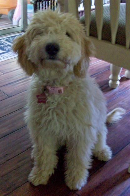 Goldendoodle Cute Little Dogs Cute Animals Cute Animal Pictures