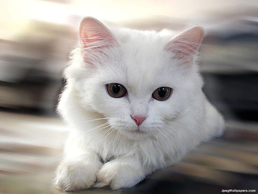 Wallpaper download cat - Download Cats Wallpaper White Cat Learn More About How To Care