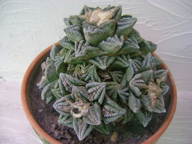 ariocarpus fissuratus this grafted plant has succulent green leaves with multipl cactus. Black Bedroom Furniture Sets. Home Design Ideas