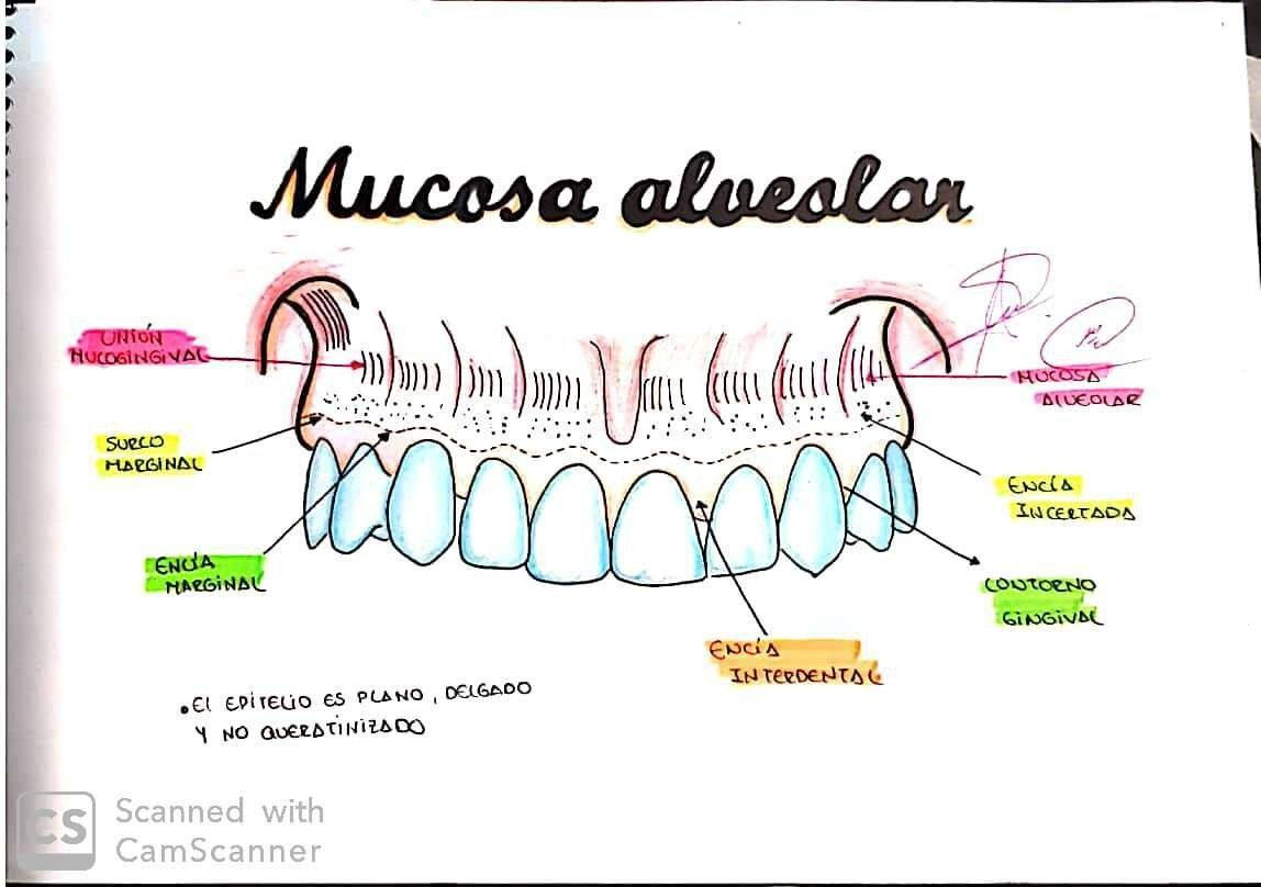 Mucosa Alveolar En 2020  Con Im U00e1genes