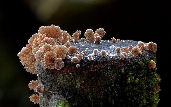 Schizophyllum commune - or Split Gills. Photo: Steve Axford スエヒロタケ科スエヒロタケ属スエヒロタケ