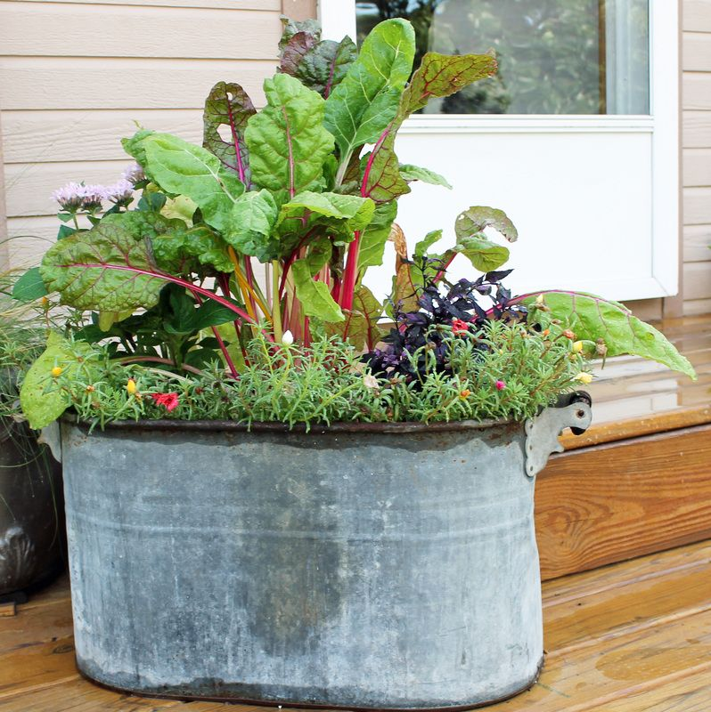 Swiss chard flowers in an old boiler tub container for Tin tub planters
