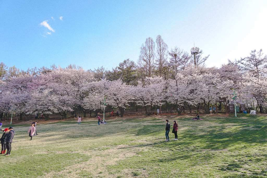 Where To See Cherry Blossoms In Seoul Korea Cherry Blossom Festival Cherry Blossom Seoul