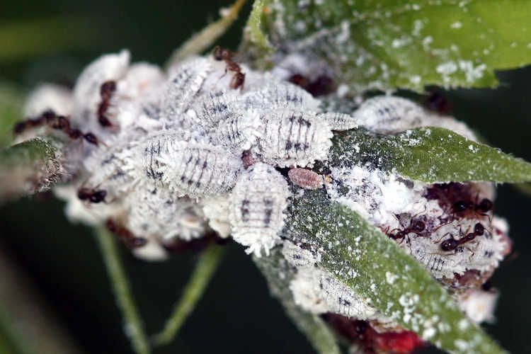 Mealybugs Making Pseudococcidae Pests Go Away For Good Epic Gardening Hibiscus Hibiscus Plant Garden Pests
