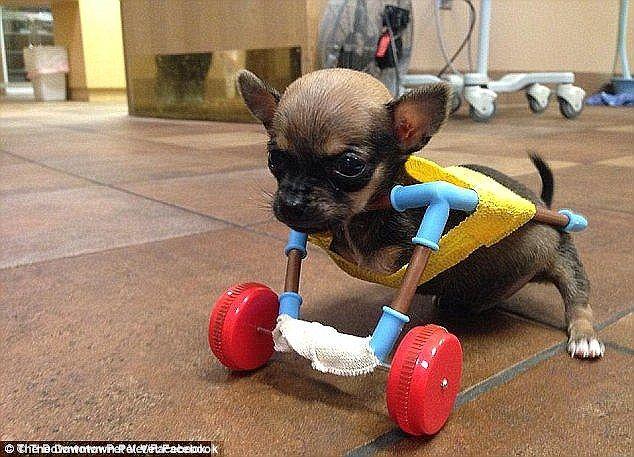 Turboroo Wins Underdog Of The Year Award Disabled Dog