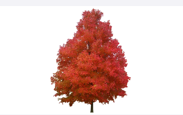 A Beautiful Red Leafed Tree Image Standing With The Background Removed Tree Photoshop Trees To Plant Plant Design