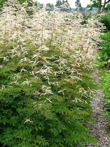 Aruncus aethusifolius hybride 39 horatio 39 gro er gei bart for Pflanzengestaltung garten