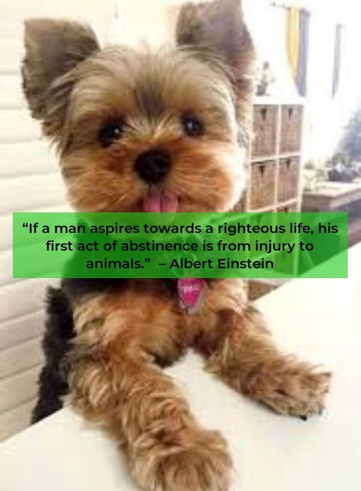 Facts On The Sprightly Yorkshire Terrier Dogs And Kids