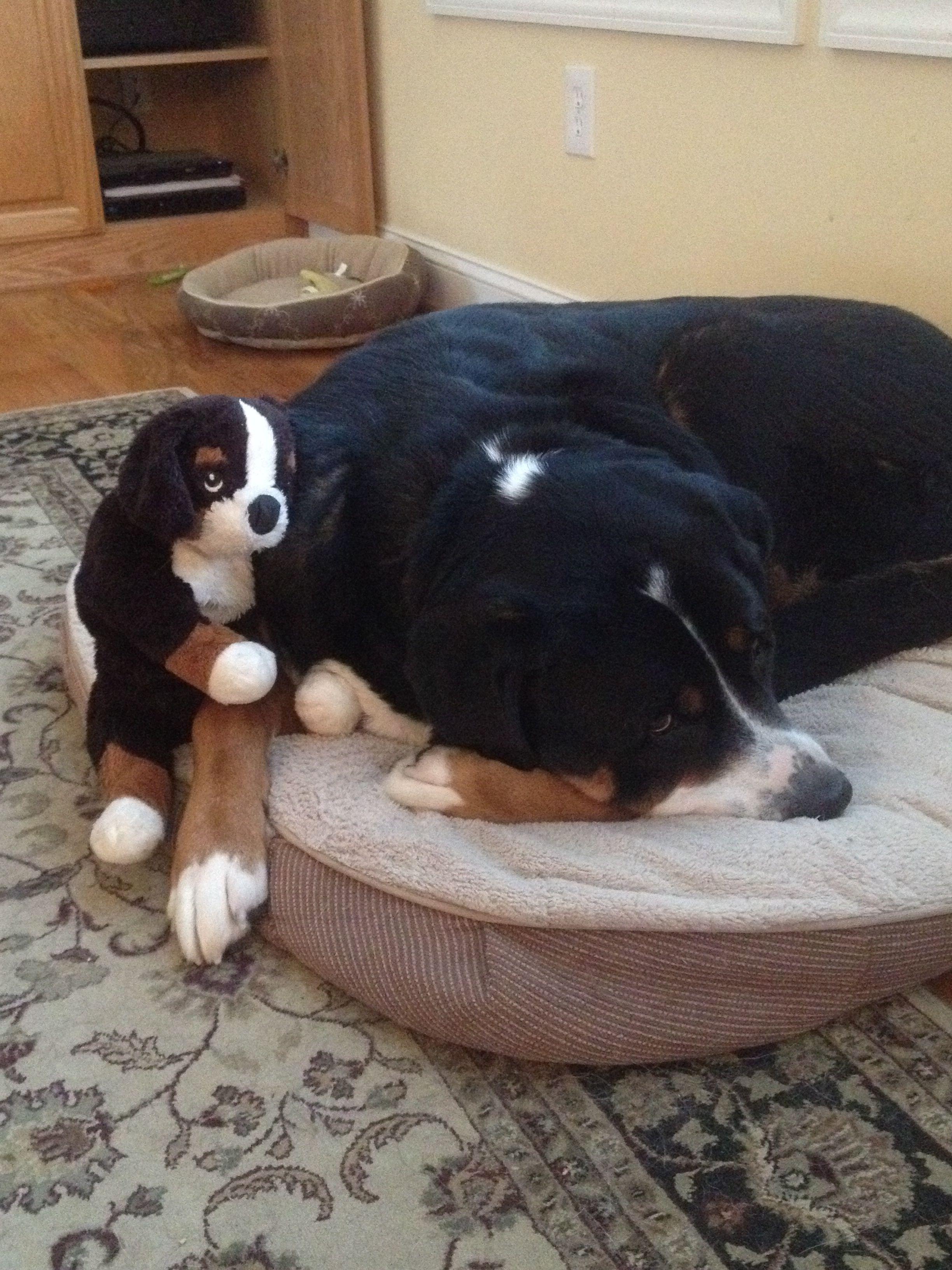 Shepherd Sleeping With His Stuffed Swissy Berners Pinterest