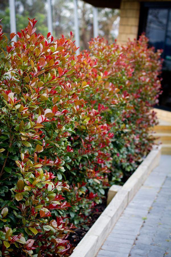 Syzygium Big Red Screening Hedging Topiary