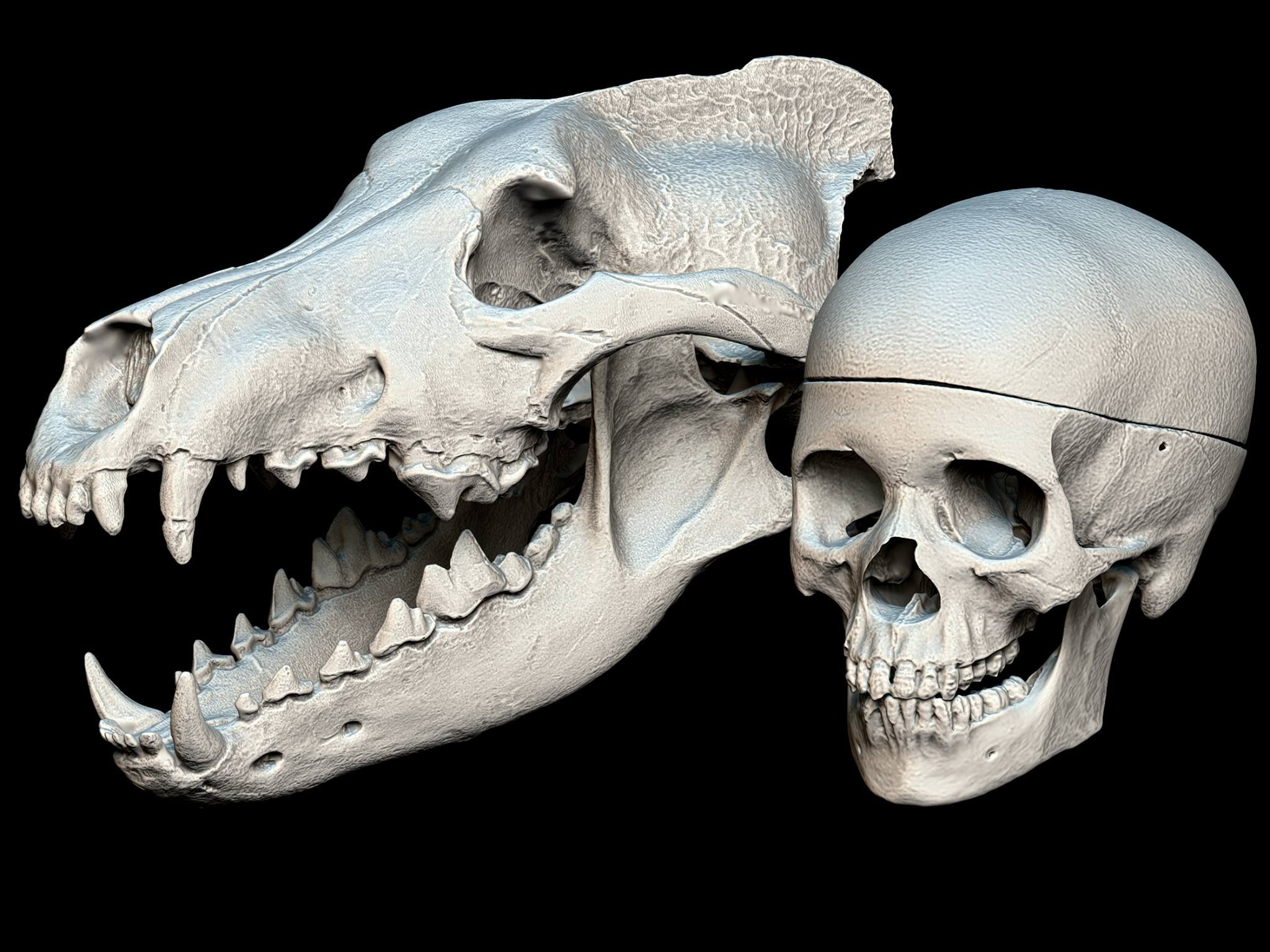 NO SPOILERS] Dire Wolf/Human Skull Size Comparison, by the Idaho ...