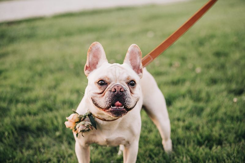 Best Wedding Dog Stanley The French Bulldog Dog Friends Dog