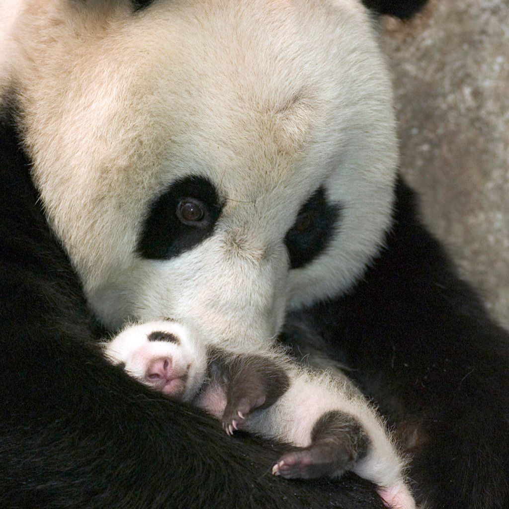 What a proud mother with her newborn panda baby. I feel the same way holding my sweet baby.
