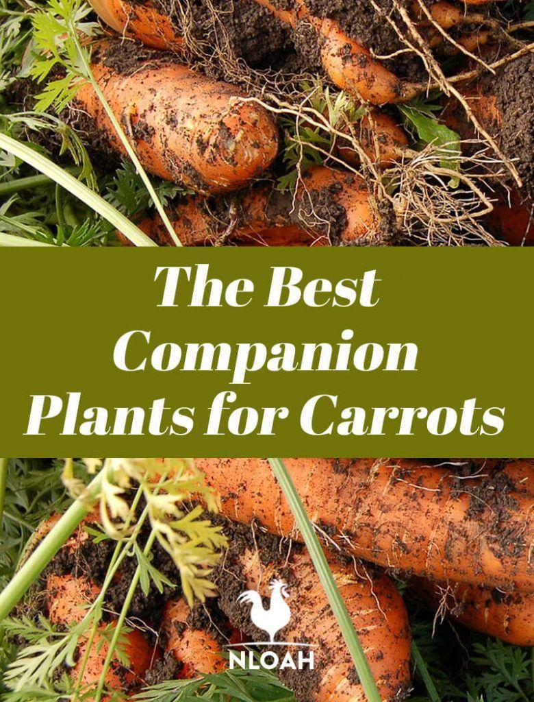 The Best Companion Plants For Carrots Companion Planting 400 x 300