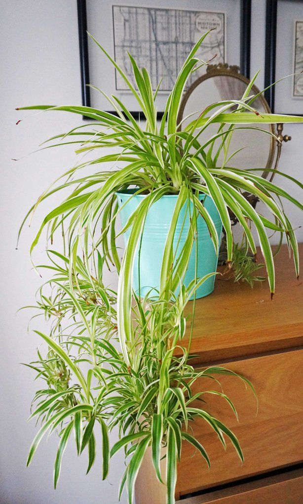 Home Grown Air Purifying House Spider Plant Indoor