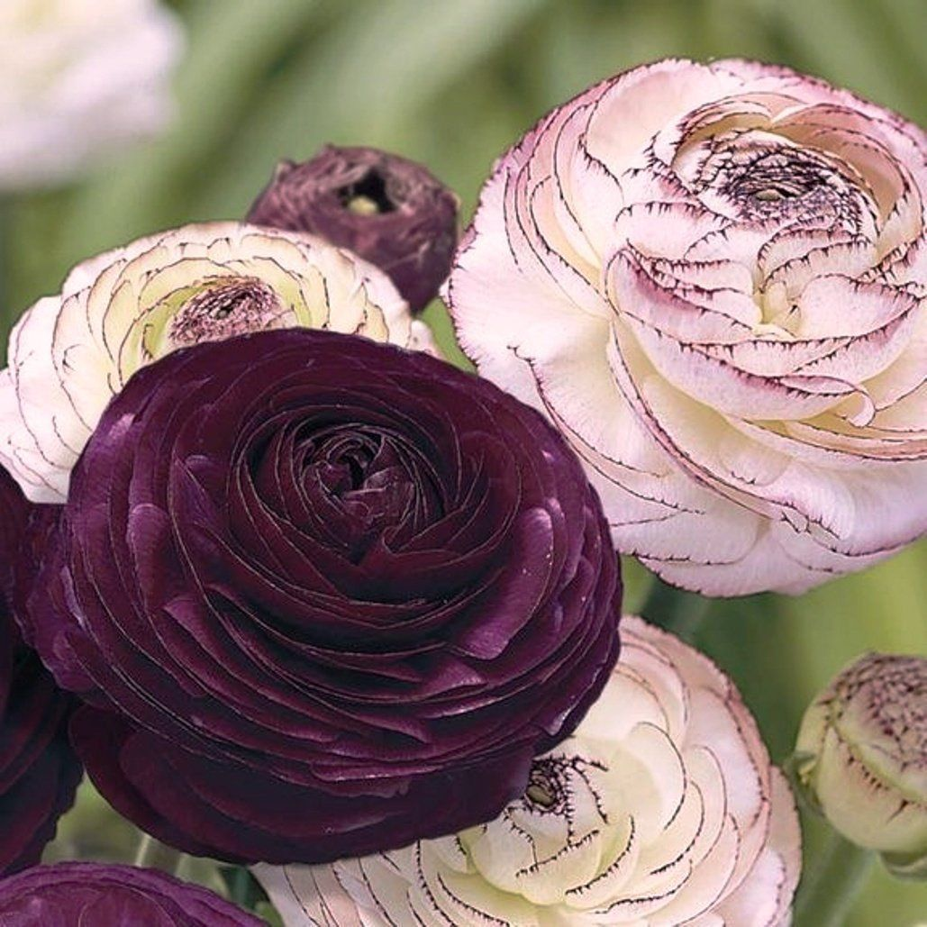 12 Picotee Purple Ranunculus Bulbs Claws Tubers Perennial Flower Bulbs Plant Ebay Early Spring Flowers Bulb Flowers Beautiful Flowers