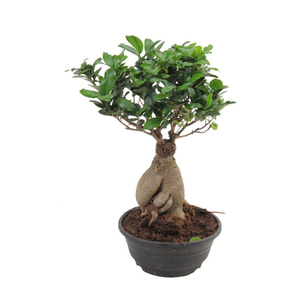 Peperomia Mix 10 Cm Kwiaty Doniczkowe W Atrakcyjnej Cenie W Sklepach Leroy Merlin Peperomia Plants Planters